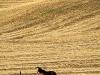 Horse in pasture - Colfax, WA - 08-22-11