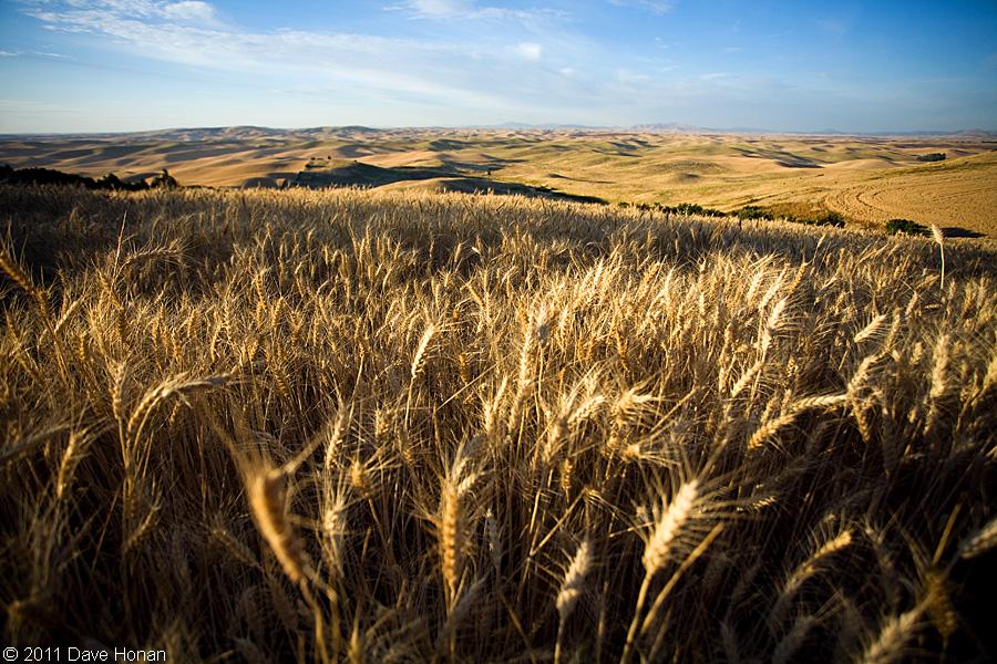 Wheat stalks and Palouse hills - Steptoe, WA - 08-21-11