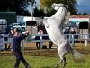 horse-rearing-ballinasloe-ie-10-06-12_1248-l