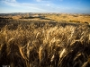 Wheat stalks and Palouse hills - Steptoe, WA - 08-21-11